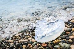 Большая медуза лежит на береге и помытая морским путем вода Стоковое Фото