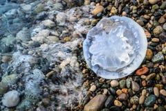 Большая медуза лежит на Pebble Beach моря Стоковое Изображение