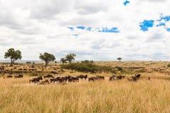 Большая миграция на равнинах Serengeti Masai Mara, Африка Стоковое Изображение RF