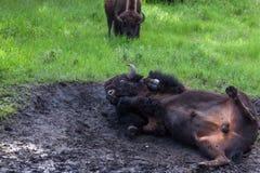 Завальцовка бизона в грязи стоковая фотография