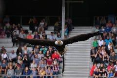 Большая муха белоголового орлана против голубого неба от его мастера Стоковые Изображения RF
