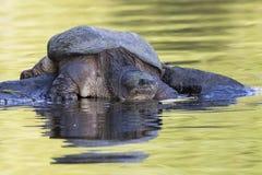 Большая общая щелкая черепаха греясь на утесе - Онтарио, Канада Стоковая Фотография RF
