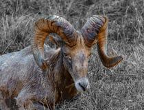Большая овца рожка отдыхает в траве зимы стоковая фотография rf