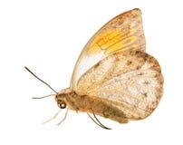 Большая оранжевая бабочка подсказки на белой предпосылке стоковые изображения