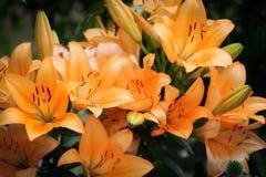 Большая оранжевая лилия тигра в лете стоковые изображения rf