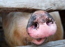 большая пакостная свинья Стоковое фото RF