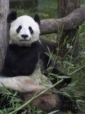 Большая панда на зоопарке вены, Австрия Стоковая Фотография