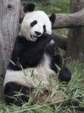 Большая панда на зоопарке вены, Австрия Стоковое Изображение