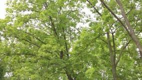 Большая панорама лиственного леса, лиственный лес, лес клена акции видеоматериалы