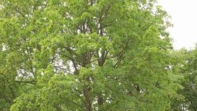 Большая панорама лиственного леса, лиственный лес, лес клена сток-видео