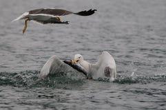 Большая поддерживаемая черно задвижка чайки рыбы Стоковые Изображения RF