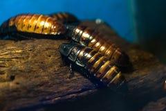 Большая ползучесть тараканов вдоль старого дерева Стоковые Фотографии RF