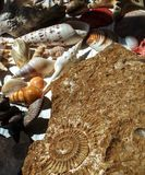Большая превращенная в камень раковина и много малых одних Стоковые Фотографии RF