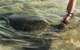Большая прованская черепаха в воде на побережье пляжа черепахи в Hikkaduwa, Шри-Ланка в Индийском океане стоковое изображение rf