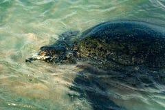 Большая прованская черепаха в воде на побережье пляжа черепахи в Hikkaduwa, Шри-Ланка в Индийском океане стоковые изображения