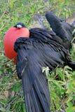 Большая птица фрегата во время своего сопрягая ритуала стоковое фото