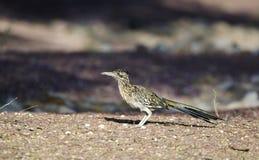 Большая птица Roadrunner, юго-западная пустыня, Tucson Аризона стоковое изображение rf