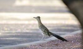 Большая птица Roadrunner, юго-западная пустыня, Tucson Аризона стоковая фотография