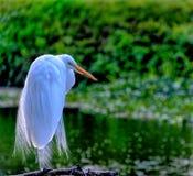 Большая растительность Egret садить на насест на ветви Стоковая Фотография