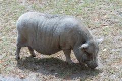 Большая свинья на ферме сафари страны Стоковое Изображение
