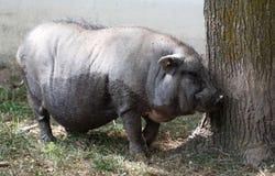 Большая свинья на ферме сафари страны Стоковые Фотографии RF