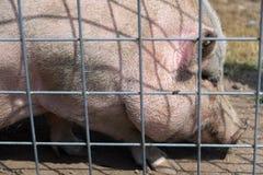 Большая свинья на ферме сафари страны Стоковые Изображения RF