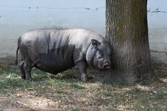 Большая свинья на ферме сафари страны Стоковое Фото