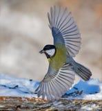 Большая синица принимает от фидера с полностью протягиванными крыльями стоковые фотографии rf