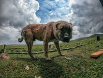 Большая собака в кавказских горах в Georgia стоковые изображения rf