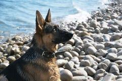 Большая собака на побережье Стоковые Фотографии RF