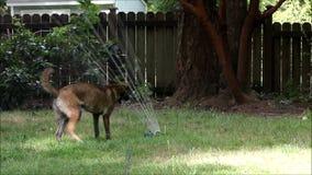 Большая собака скачет и играет в спринклере