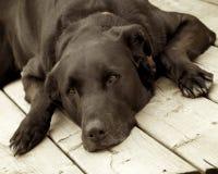 большая собака старая Стоковые Изображения RF