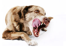 Большая собака mutt лижа свои губы стоковое изображение