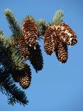 большая сосенка ветви стоковое изображение