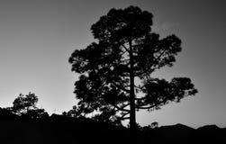 Большая сосна на наступлении ночи Стоковые Фото