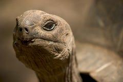 большая старая черепаха Стоковые Фото