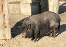 большая тучная свинья Стоковое Фото