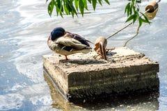 Большая утка сидит на камне, пруде города в парке Стоковое Изображение