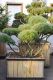 Большая фигурная стрижка кустов сосны в форме дерева облаков вечнозеленого в деревянном баке Стоковое фото RF