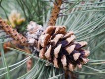 Большая фотография pinecone Стоковое Изображение