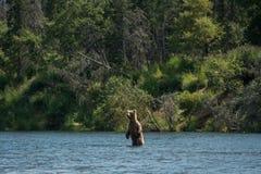 Большая хавронья бурого медведя Стоковые Фото