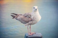 Большая чайка сидит отдыхать на пристани, против фона моря стоковая фотография rf