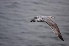 большая чайка Стоковые Фото