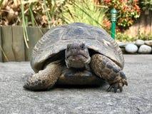 Большая черепаха в саде Стоковые Изображения RF