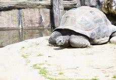 Большая черепаха сидя на том основании Стоковая Фотография