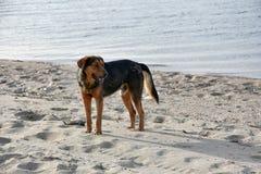 Большая черная бездомная собака на пляже в Греции Стоковые Изображения