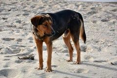 Большая черная бездомная собака на пляже в Греции Стоковое Изображение