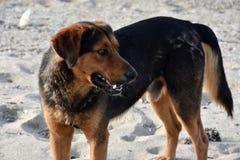 Большая черная бездомная собака на пляже в Греции Стоковые Фото