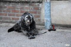 Большая черно-белая собака, связанная к столбу лампы, ожидания для его  стоковое фото rf