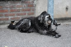 Большая черно-белая собака, связанная к столбу лампы, ожидания для его  стоковые фотографии rf